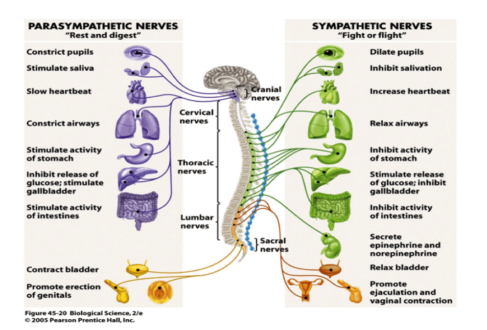 Diagram of the parasympathetic nerves and sympathetic nerves.